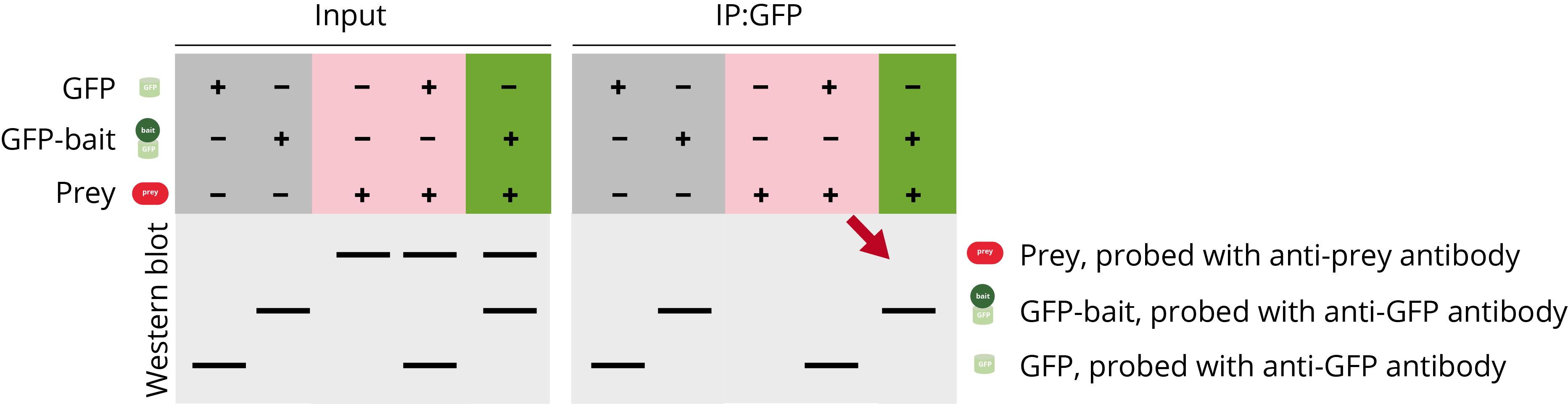 Co-IP Troubleshooting no prey