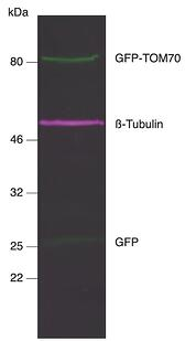 Blog_CTK_Nano-Secs_IF Western Blot