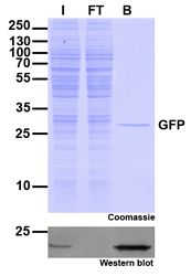 ChromoTek_GFP-Trap_Agarose