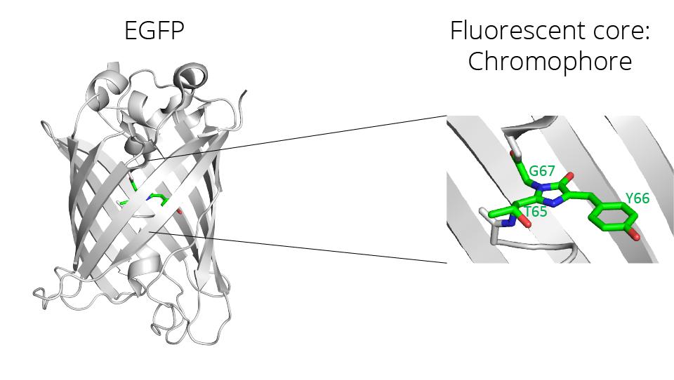 EGFP structure & Fluorescent core: Chromophore structure