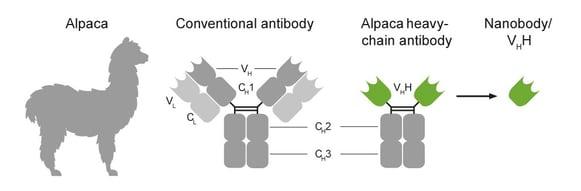 Nanobody-Alpaca-Chromotek
