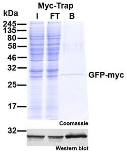 Myc-Trap Agarose Immunoprecipitation-1
