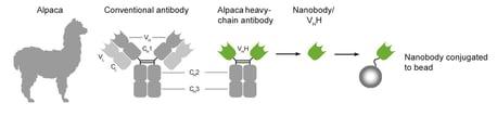 Nanobody-Alpaca-Chromotek-Trap