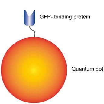 QD-Nanobody ChromoTek