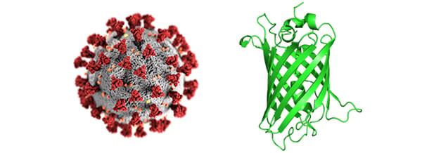 SARS-CoV-2+GFP