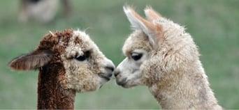 Alpaca pair.jpg