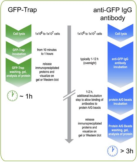 Workflow GFP-Trap vs GFP antibody170906.jpg