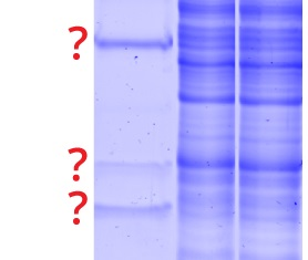 SDS gel contaminated by heavy and light antibody chains